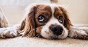 כלב קינג צארלס