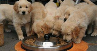 מזון לכלבים